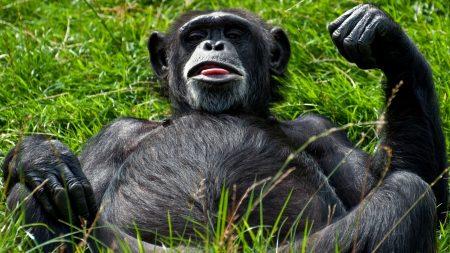 monkey, black, lying