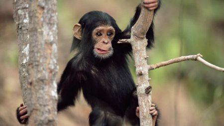 monkey, climbing, branches