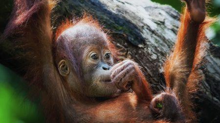 monkey, face, baby
