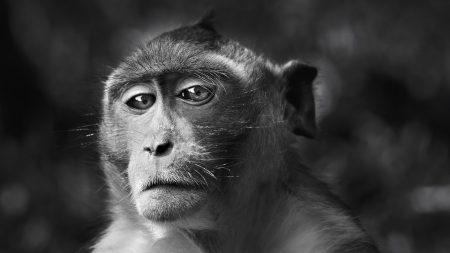 monkey, face, eyes