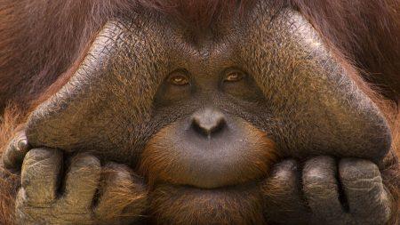 monkey, face, hands