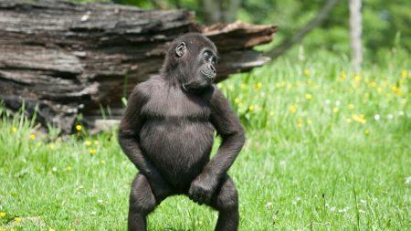 monkey, grass, walk