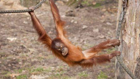 monkey, hanging, branch