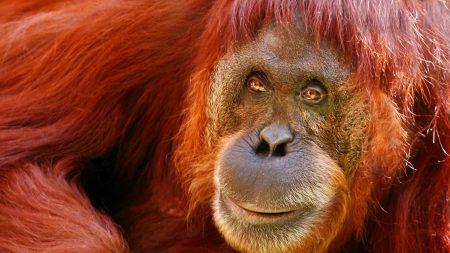 monkey, muzzle, hair