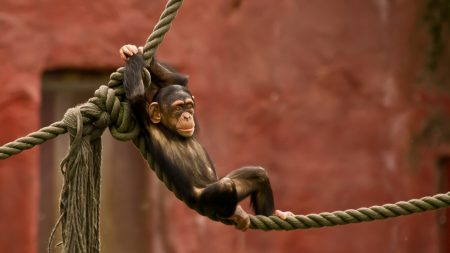 monkey, rope, entertainment