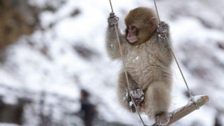 monkey, swing, little