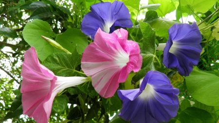 morning glory, creepers, flowers