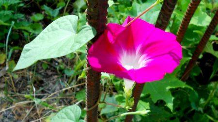 morning glory, flower, fittings