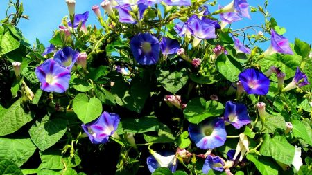 morning glory, flower, green