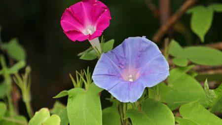 morning glory, flowers, bindweed