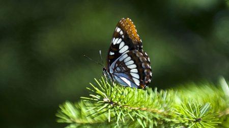 moth, spruce, wings