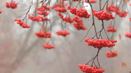mountain ash, red, berry