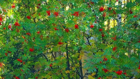 mountain ash, tree, berry