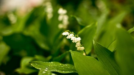 muguet, flowers, nature