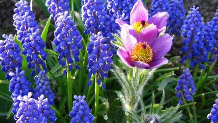 muscari, blue, flower