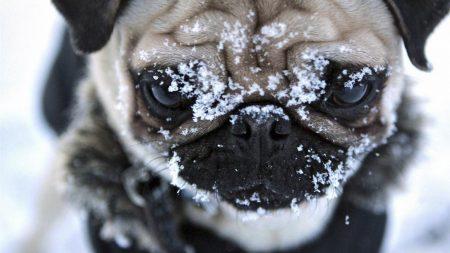 muzzle, dog, pug