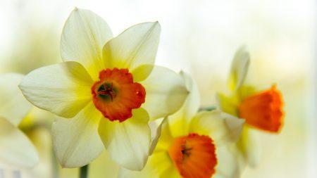 narcissus, flower, petals
