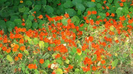 nasturtium, flowers, herbs