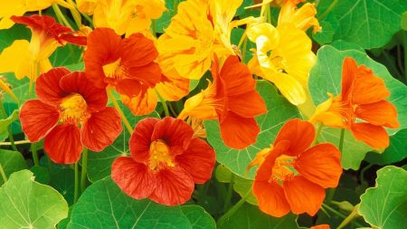 nasturtium, flowers, leaves
