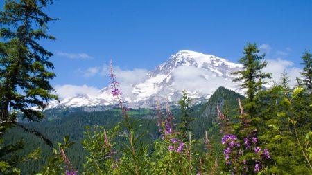 national park mount rainier national park, flowers, forests