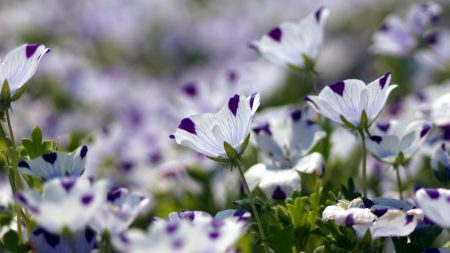 nemofily, flowers, speckled