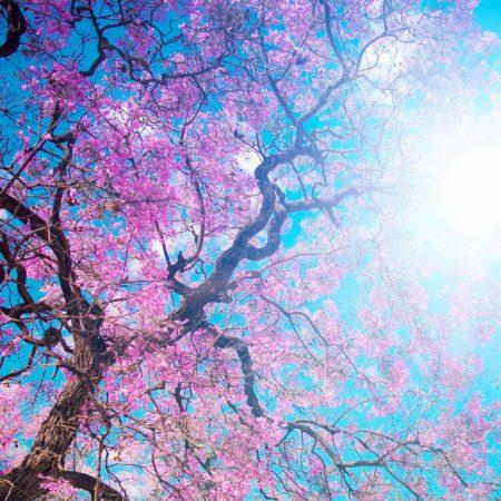 o-hanami, blossom festival and to enjoy the cherry blossoms, japan
