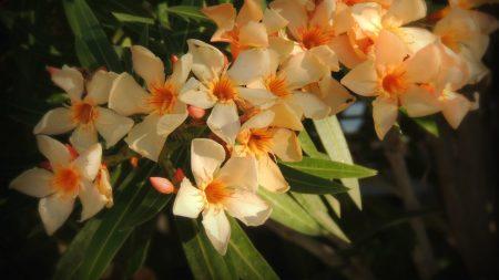oleander, flowers, leaves