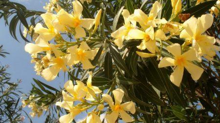 oleander, yellow, leaves