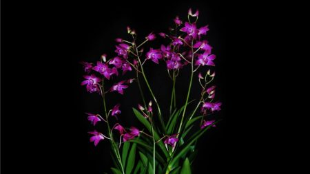 orchid, exotic, black background