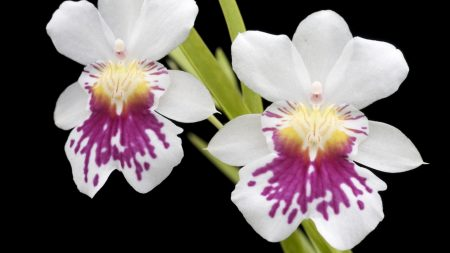 orchid, flower, close-up
