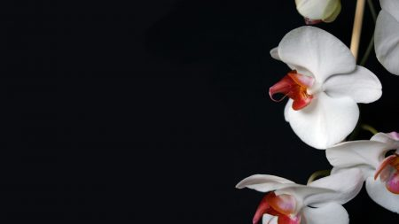 orchid, flower, petals
