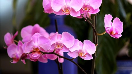 orchid, flower, pink