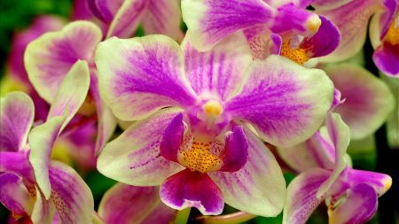 orchid, flower, two-color
