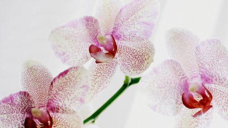 orchid, spotted, close up