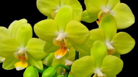 orchid, yellow, flower