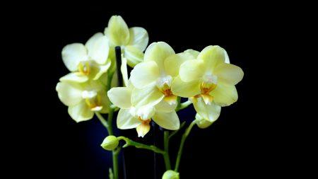 orchids, delicate, white