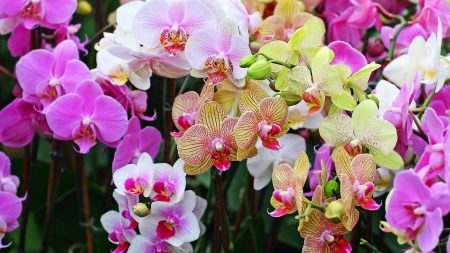 orchids, flowers, colorful