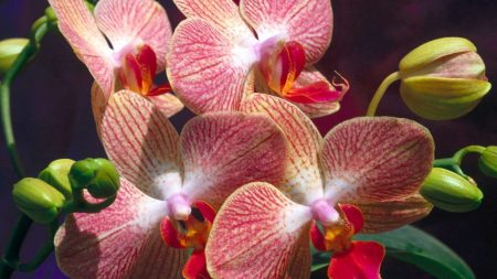 orchids, flowers, pink