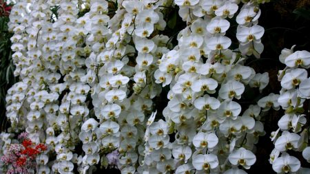 orchids, flowers, snow-white
