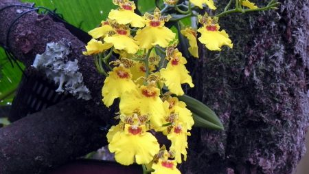 orchids, flowers, yellow