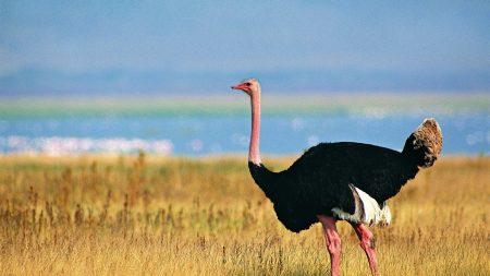 ostrich, grass, walking