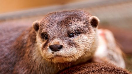 otter, face, eyes