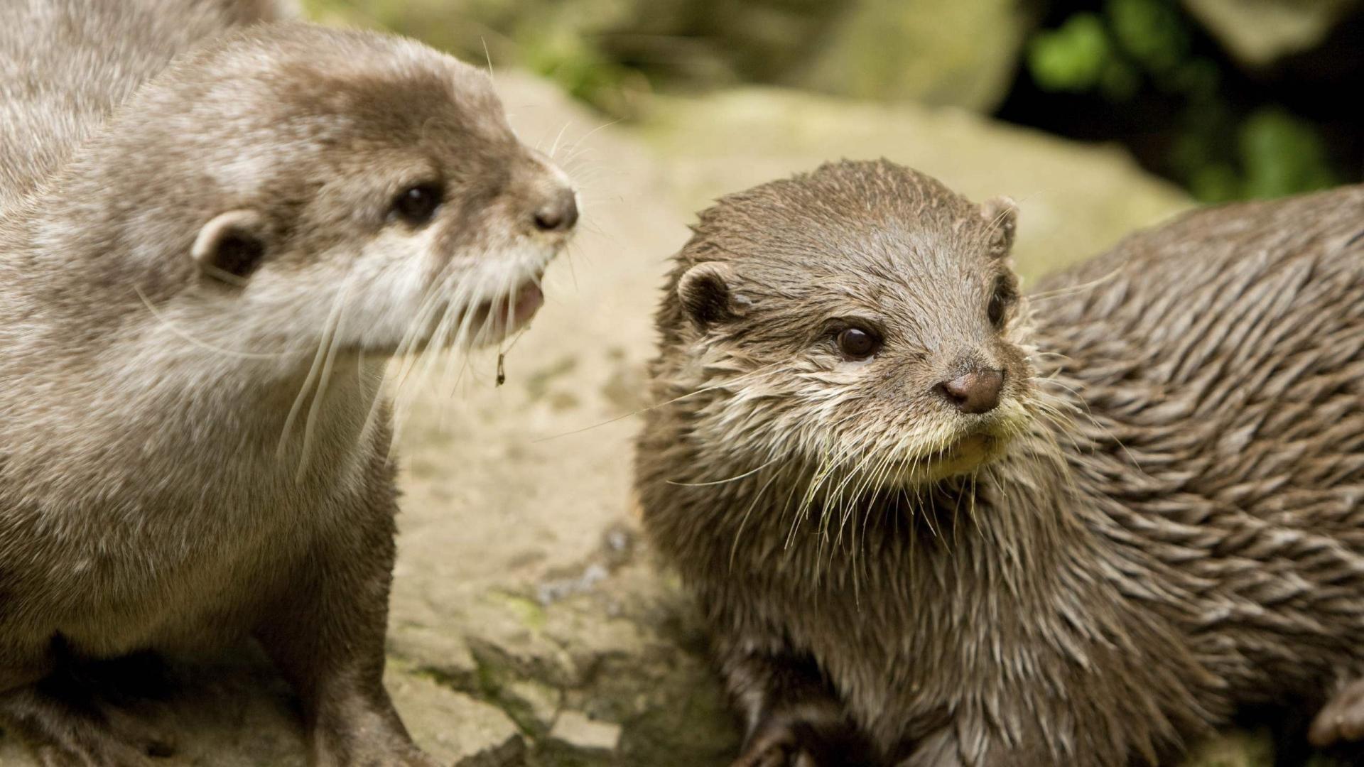 Download Wallpaper 1920x1080 Otter Wet Animal Full Hd