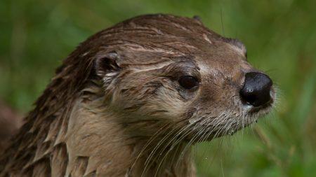 otter, wet, face
