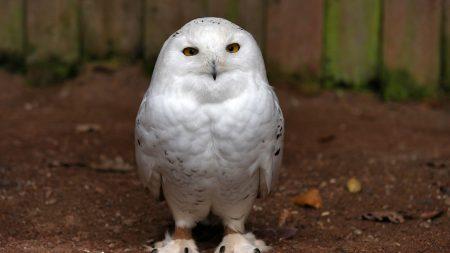 owl, beautiful, feathers