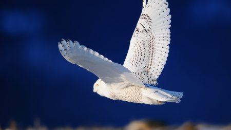 owl, bird, predator