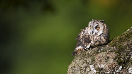 owl, birds, predators