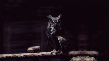 owl, branch, sit