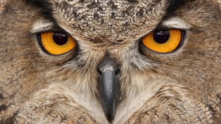 owl, eyes, beak