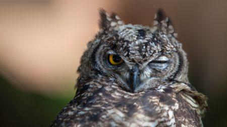 owl, eyes, bird